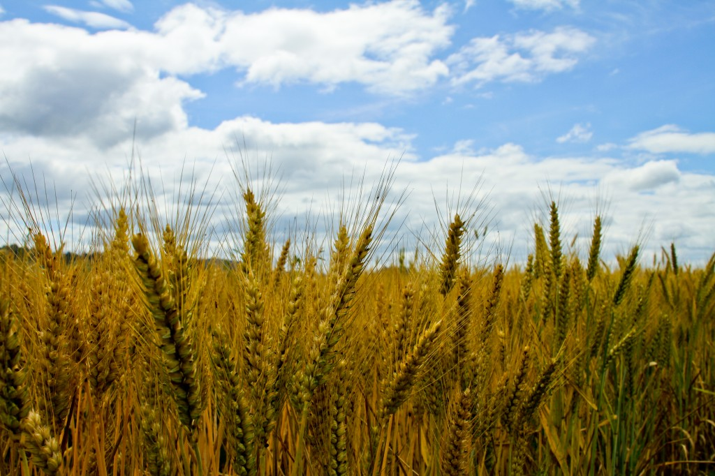 Photo of a wheat field I took not far from the farm I grew up on in Oregon's Willamette Valley