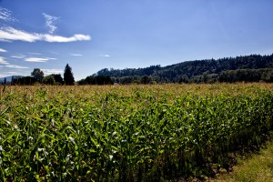 Corn field near Carnation WA 8-16-13
